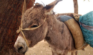 Burros-extincion-China-5
